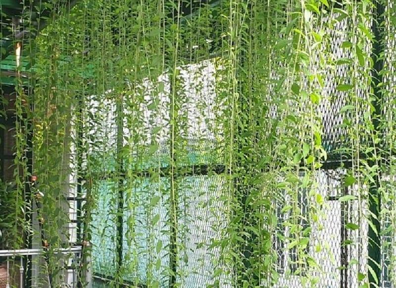 Cây cúc tần Ấn Độ được trồng tiểu cảnh trong nhà, mọc rủ từ trên trần cao xuống