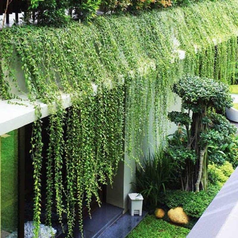 Cây cúc tần Ấn Độ được trồng trên ban công mọc lan xuống dưới tạo thành tấm mành che màu xanh lá