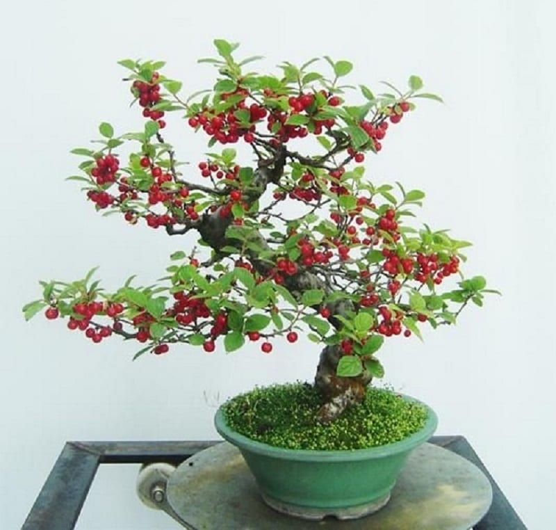 cây cherry bonsai mini được uốn cành lượn sóng, ít lá xanh và chi chít quả đỏ nhỏ xinh