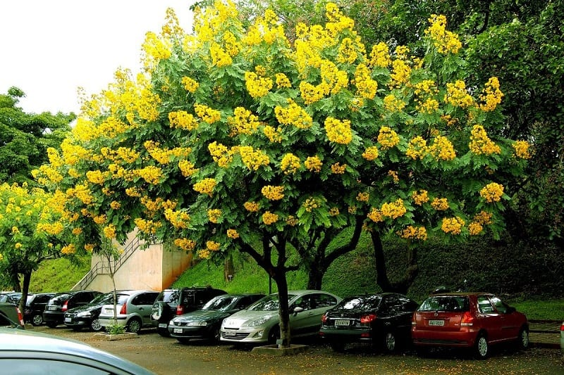 cây giáng hương tán rộng, hoa vàng nổi bật được trồng trên hè phố