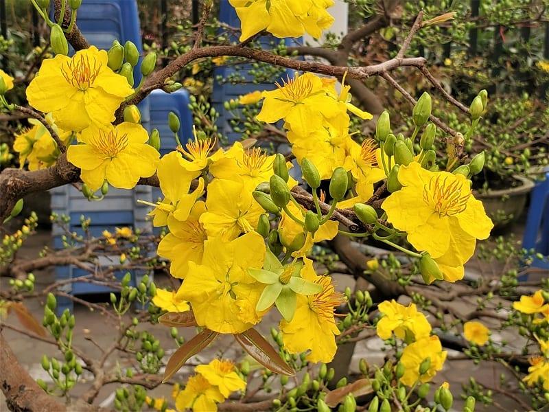 cành hoàng mai hoa nở vàng rực và rất nhiều nụ xanh đang chuẩn bị bung nở
