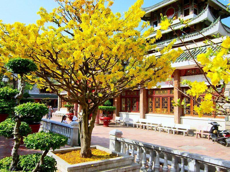 cây mai cổ thụ cao lớn, hoa nở vàng rực được trồng trong tiểu cảnh sân vườn kiến trúc trung quốc