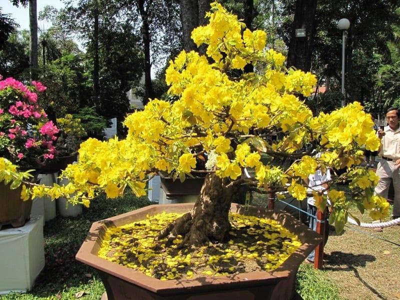 cây mai cảnh trồng trong chậu gốm được cắt tỉa và uốn thành hình chóp 3 tầng, hoa nở vàng rực