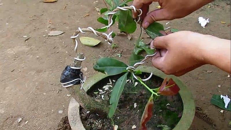 cây mai đang được uốn cành bằng dây kẽm từ khi còn nhỏ