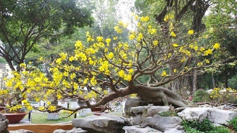 cây mai hoa nở vàng rực trồng trong tiểu cảnh sân vườn