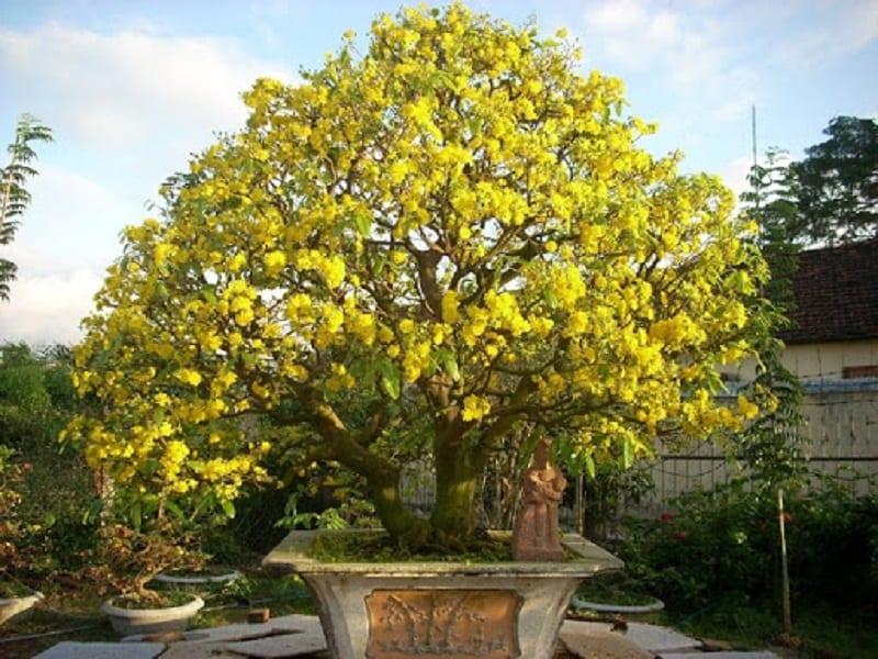cây mai bonsai hoa nở vàng rực được trồng trong chậu kiểng