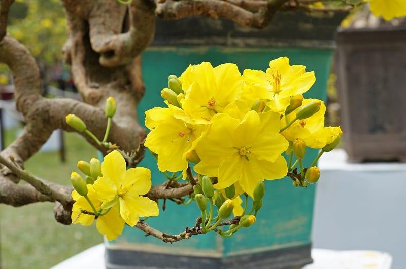 những bông hoa mai vàng tươi, mỗi bông 5 cánh và mọc thành chùm ở đầu cành