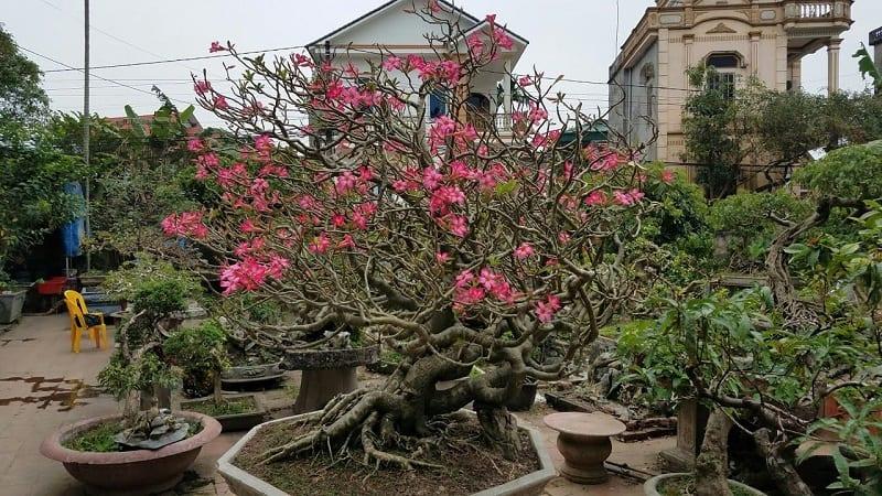 cây hoa sứ đỏ hồng nở rộ ở trong sân nhà