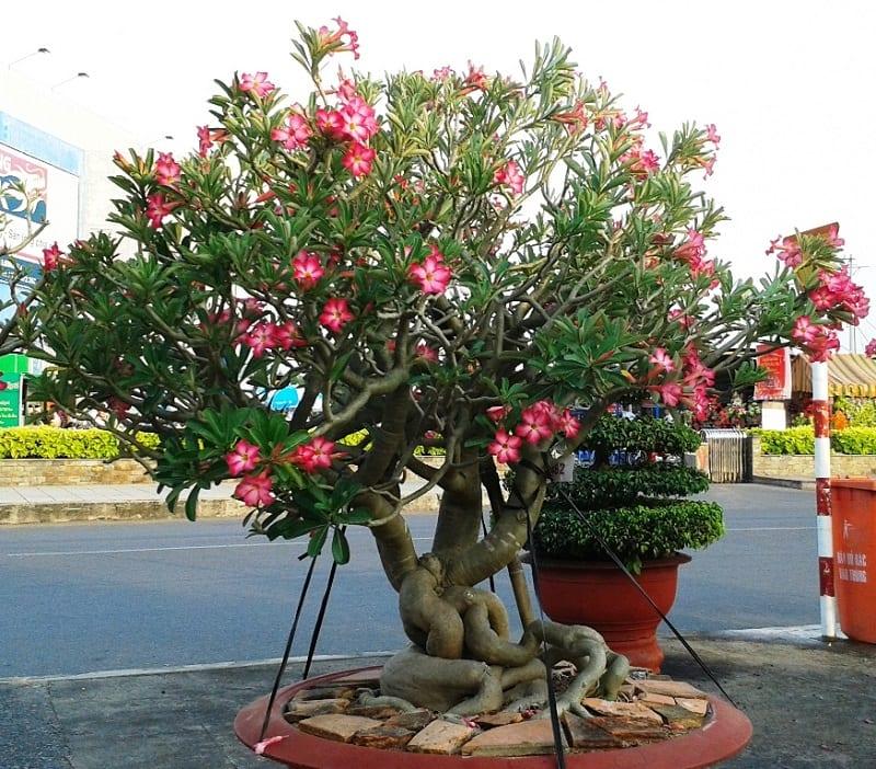cây cảnh hoa sứ bonsai thân có 3 cành lớn, lá cắt tỉa gọn gàng, hoa nở hồng rực