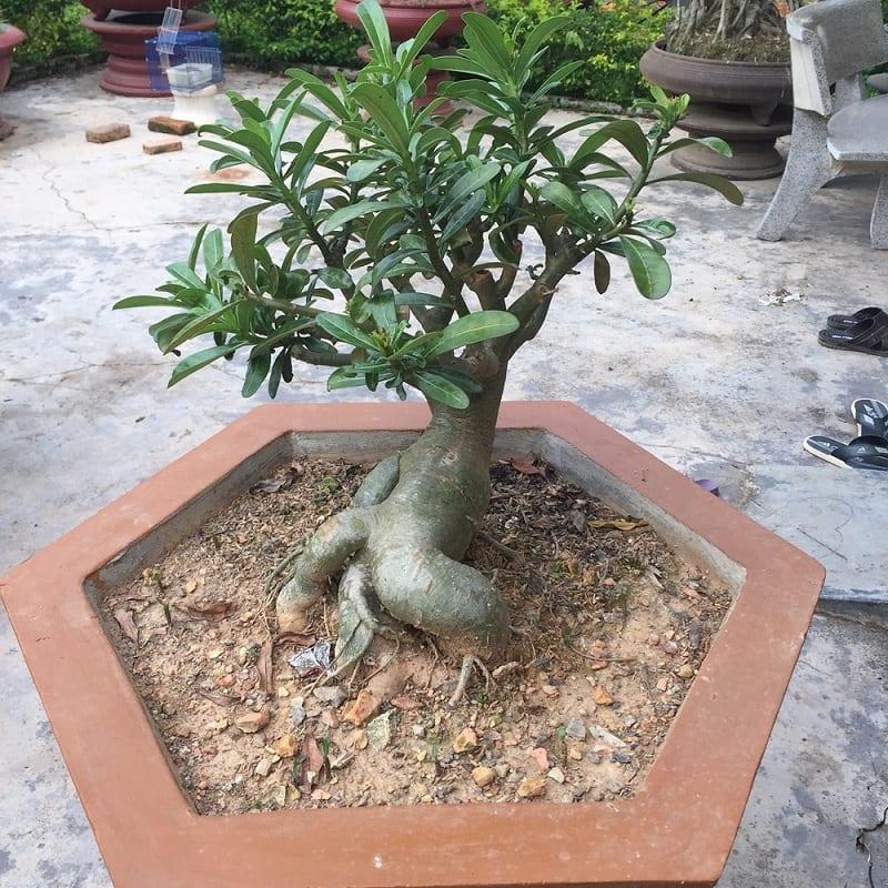 cây sứ bonsai mini gồm nhiều lá xanh chưa có hoa