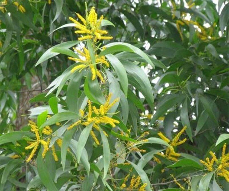 tán cây keo lai có lá xanh đậm, dài hình lưỡi mác, những chùm hoa vàng nổi bật