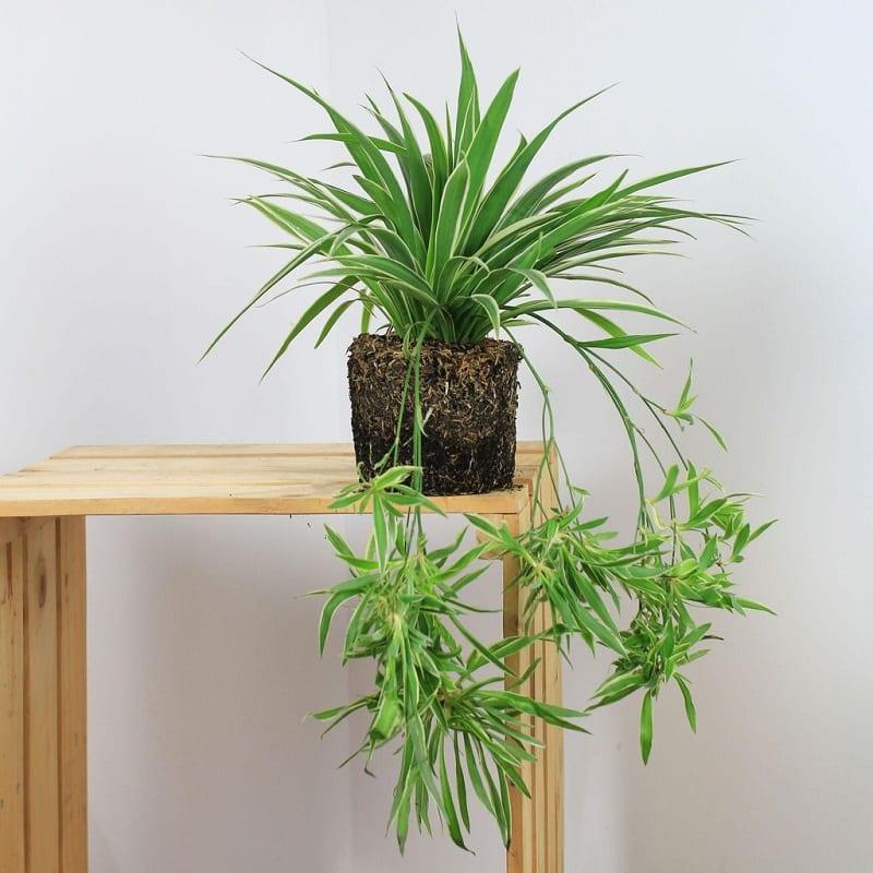 Cây lan chi xanh mượt mọc nhiều nhánh dài rủ xuống được trồng trong chậu nhỏ màu đen đặt trên kệ gỗ