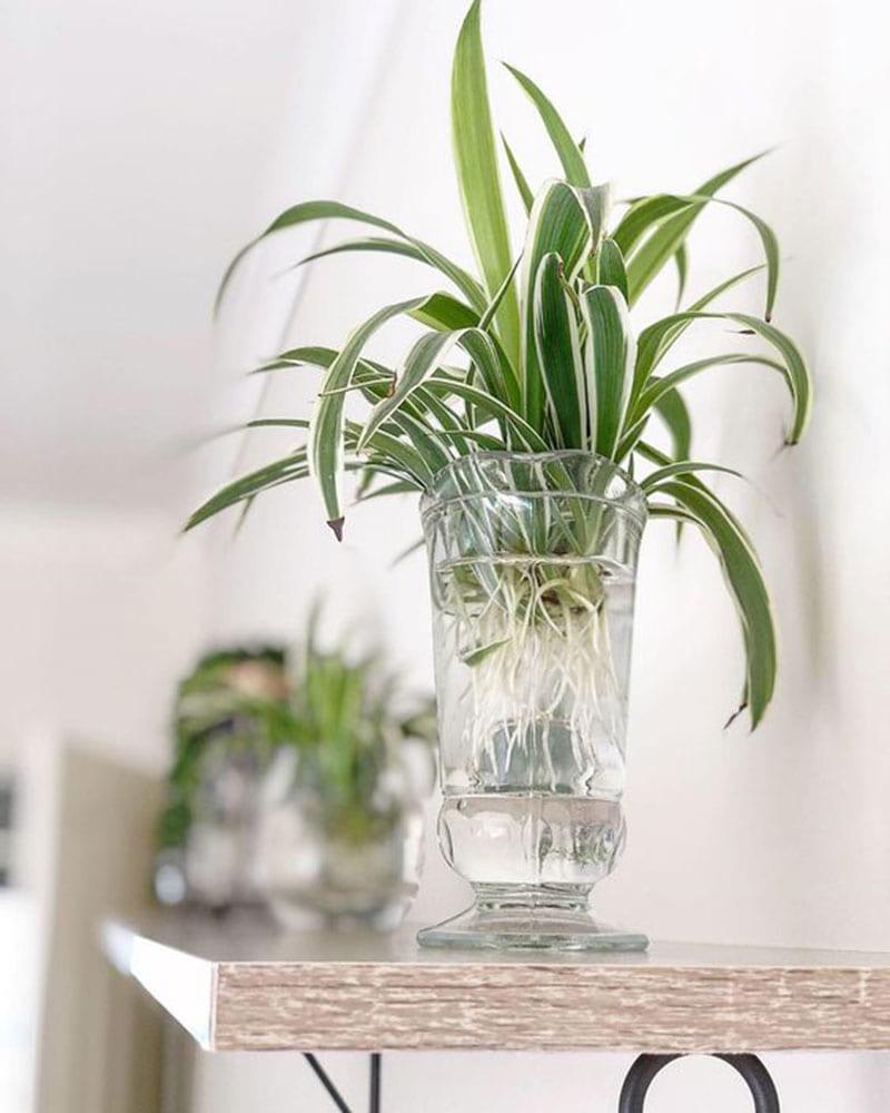 cây dây nhện được trồng trong bình nước bằng thủy tinh, đặt trên bàn