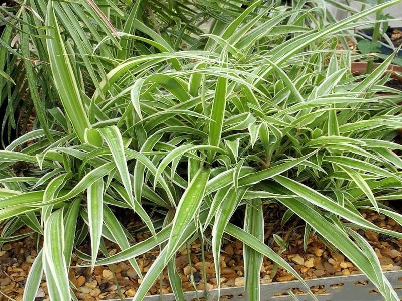 Khóm lay chi xanh tốt được trồng trên nền đất rắc sỏi trên mặt