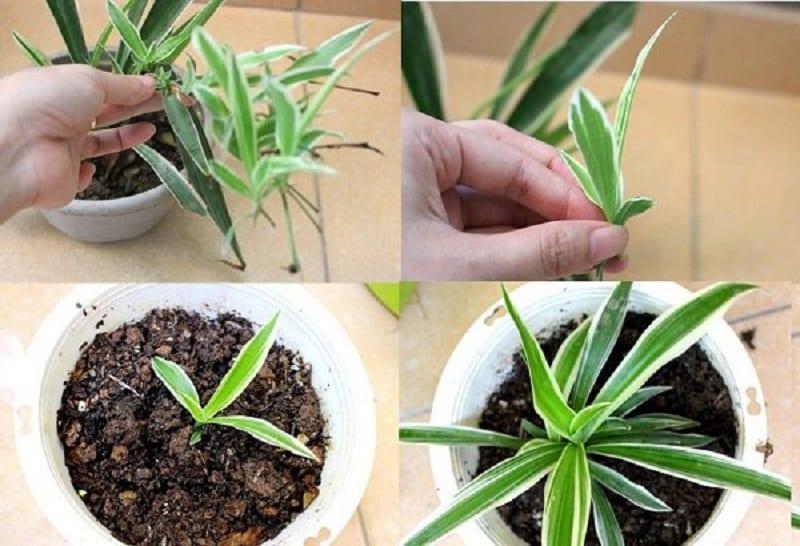 Tách cây con từ bụi cây mẹ và trồng vào chậu mới