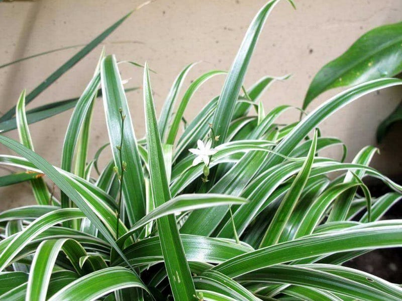 lá lan chi dài giống hình kiếm, nhọn dần về phía ngọn, điểm một bông hoa trắng nhỏ 6 cánh
