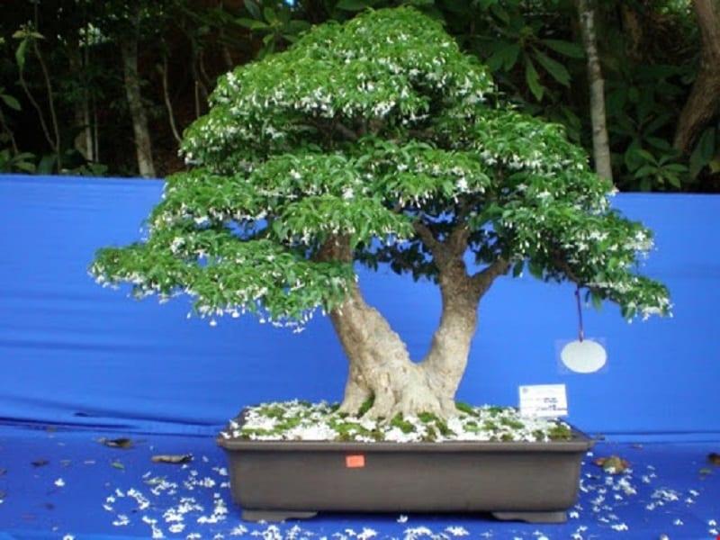 chậu cây mai chiếu thủy bonsai được cắt uốn tạo dáng đẹp, lá xanh tốt nổi bật hoa trắng