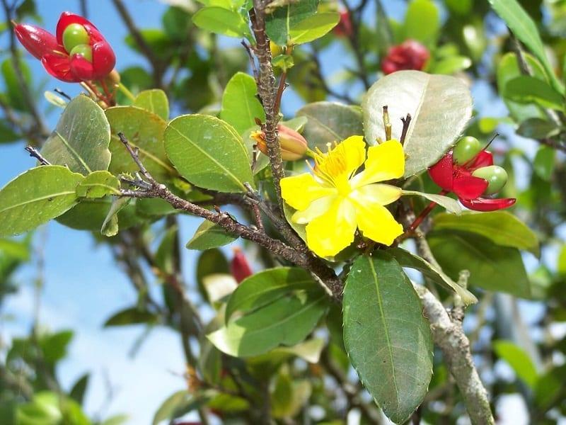 cây mai tứ quý hoa vàng và đang kết quả