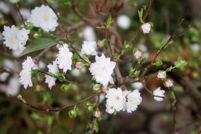 cành hoa nhất chi mai màu trắng, nụ hồng phớt