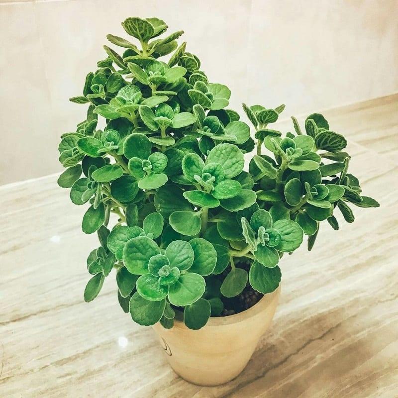 chậu cây sen thơm cành lá xanh tốt, lá nhỏ tròn, ngọn cành nhìn giống như bông hoa