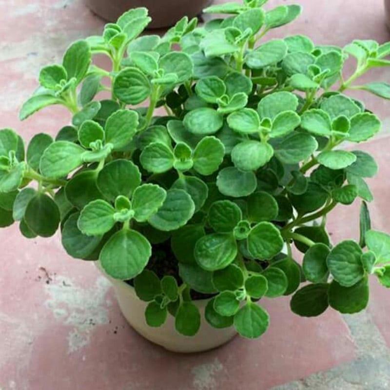 Chậu cây nhất mạt hương xanh tốt, lá cây nhỏ hình tròn o van, màu xanh lục