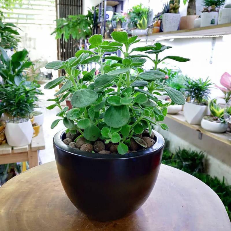 chậu cây sen thơm màu đen được đặt trên bàn gỗ, cây lá xanh tốt