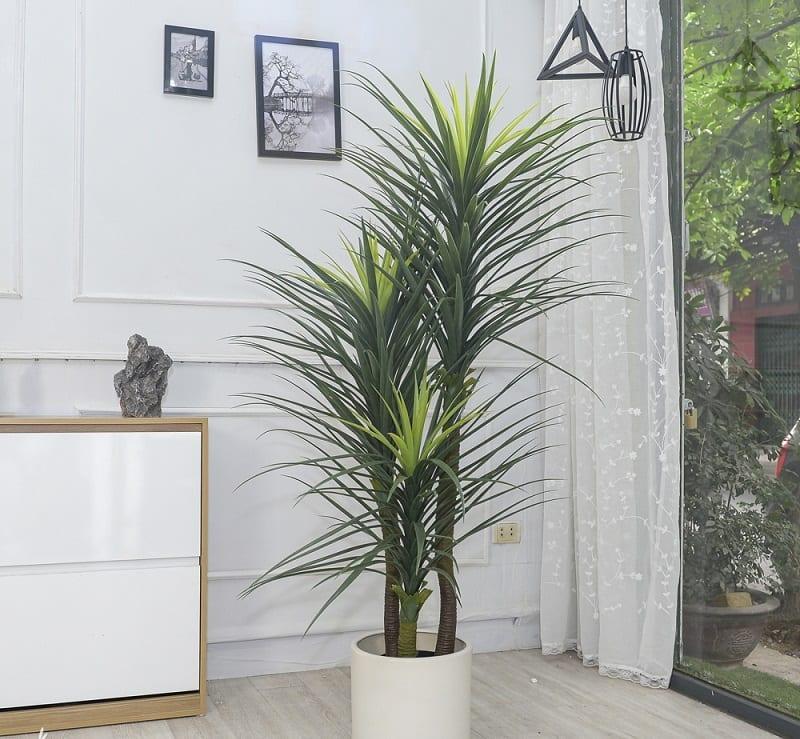 cây phát tài núi lá xanh đậm nhạt kết hợp, trồng trong chậu sứ trắng đặt ở một góc nhà