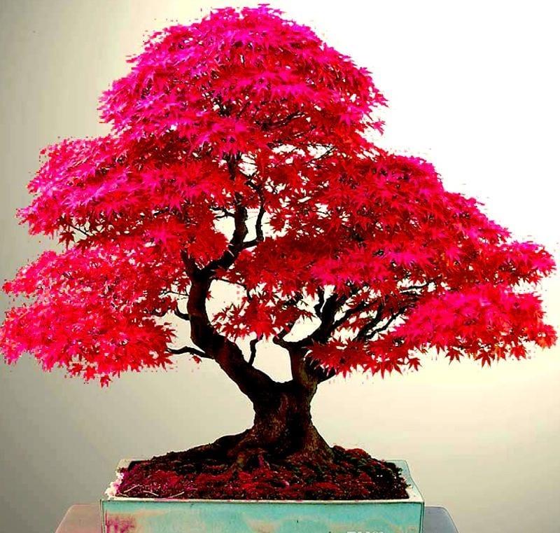Cây Phong Lá đỏ 4 800x761