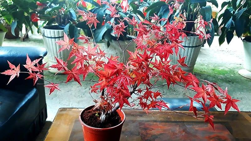 Cây Phong Lá đỏ 7 800x450
