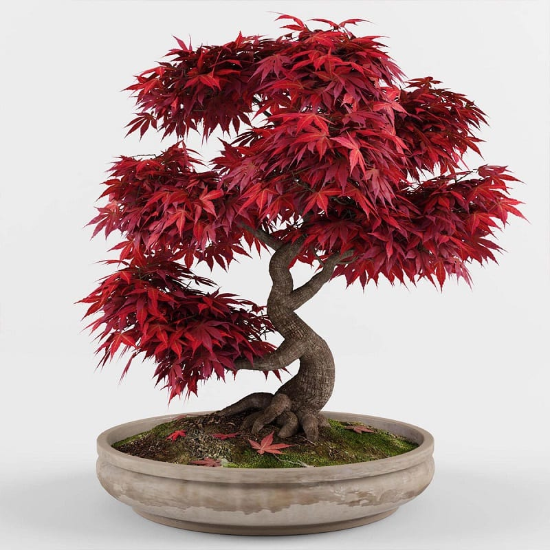 Cây Phong Lá đỏ 8 1 800x800