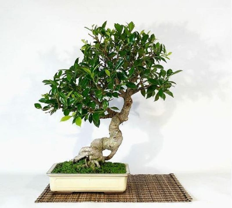 cây bonsai sâm nhung trồng trong chậu trắng, rễ nổi xù xì và tán lá được cắt tỉa gọn gàng