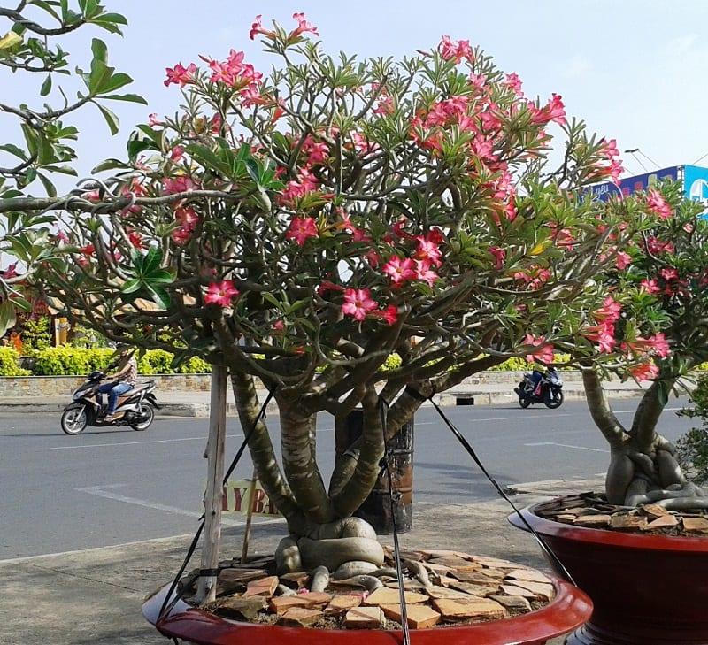 cây sứ nguyên liệu được trồng trên chậu sứ đỏ, hoa nở hồng rực