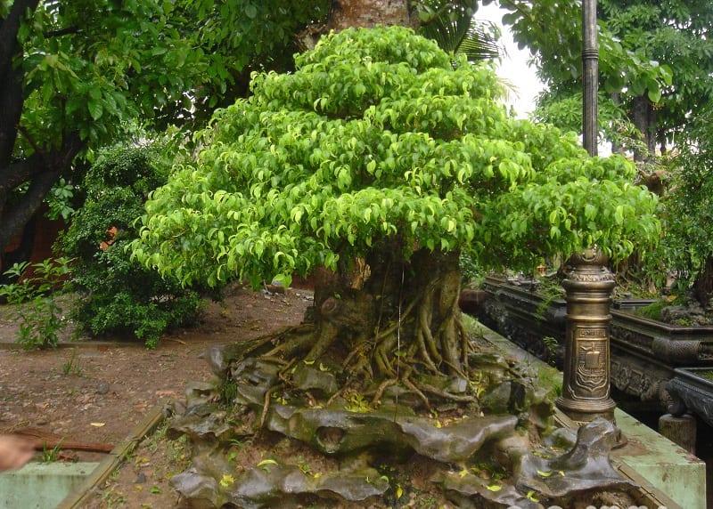 chậu cây sanh bonsai tán lá xanh tốt được cắt tỉa hình chóp, rễ to gồm nhiều rễ phụ