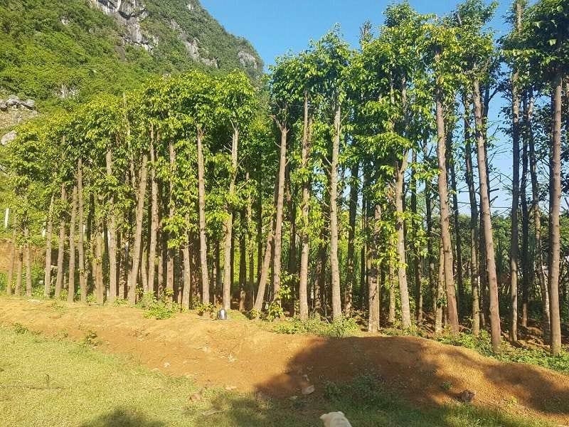 hàng cây sao đen cao, thẳng, xanh tốt được trồng dưới chân đồi