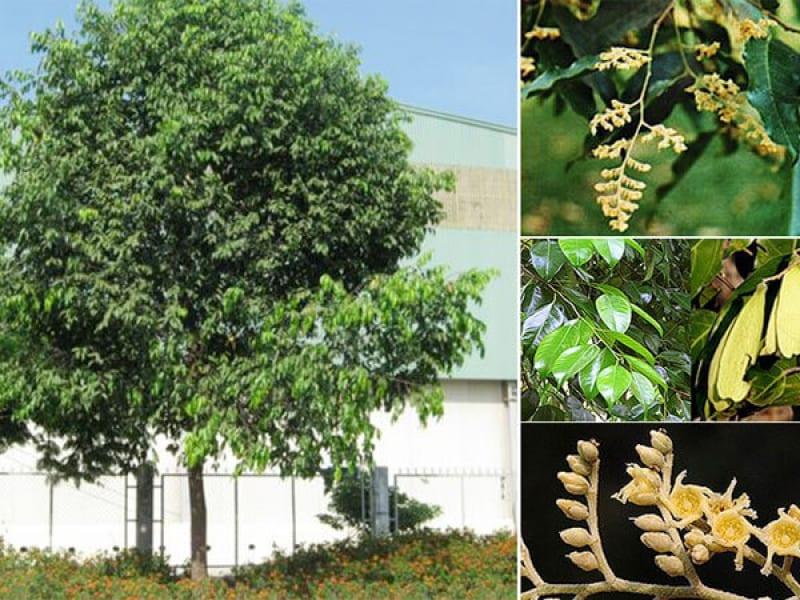 cây sao đen cao lớn có từng chùm hoa vàng, lá xanh tốt, quả vàng có 2 cánh dài
