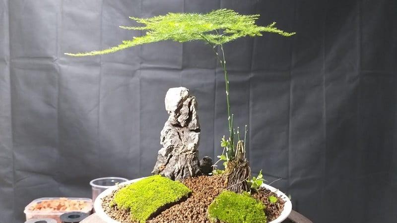 cây thủy tùng bonsai mini trong tiểu cảnh mini