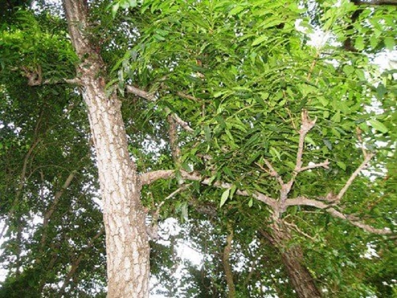 cây xoan đào thân to, vỏ hơi xù xì, tán lá rộng xanh tốt và nhiều cành nhánh