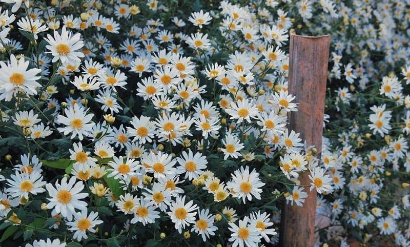 Hoa Cúc Họa Mi 1 800x482