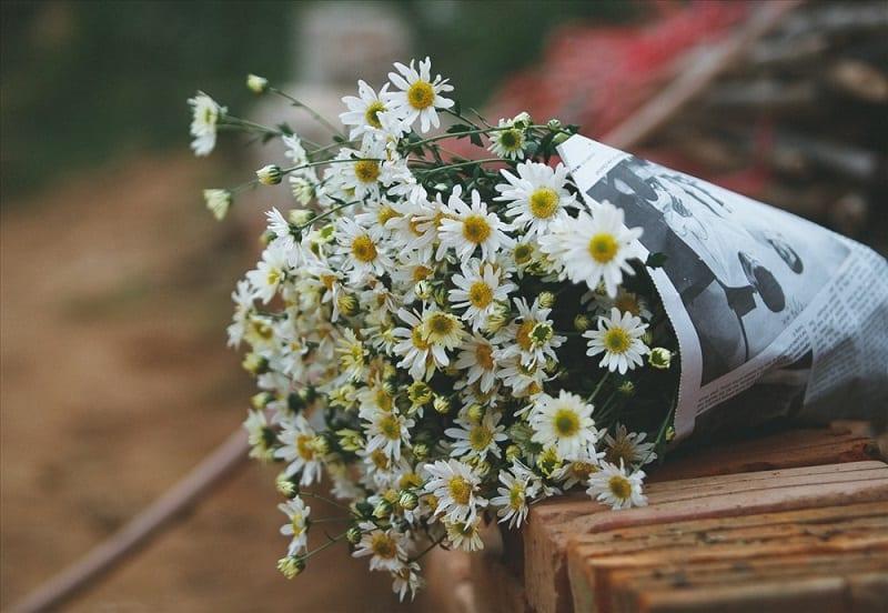 Hoa Cúc Họa Mi 2 800x552