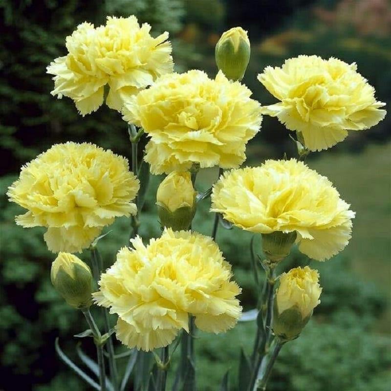 Hoa Cẩm Chướng 5 800x800