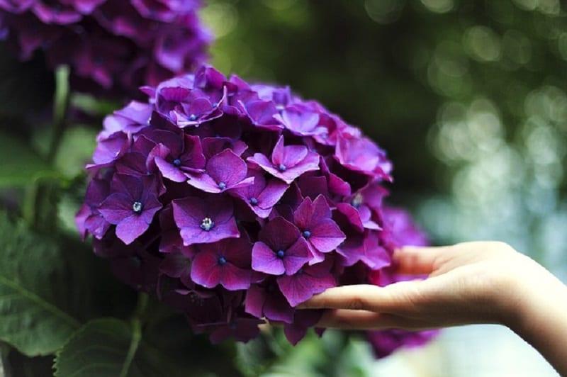 một bàn tay đang nâng đỡ bông hoa cẩm tú cầu màu tím nở rộ