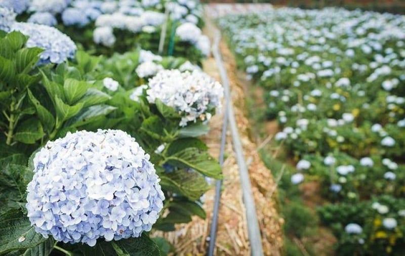 khu trồng giống cây cẩm tú cầu màu xanh dương nhạt