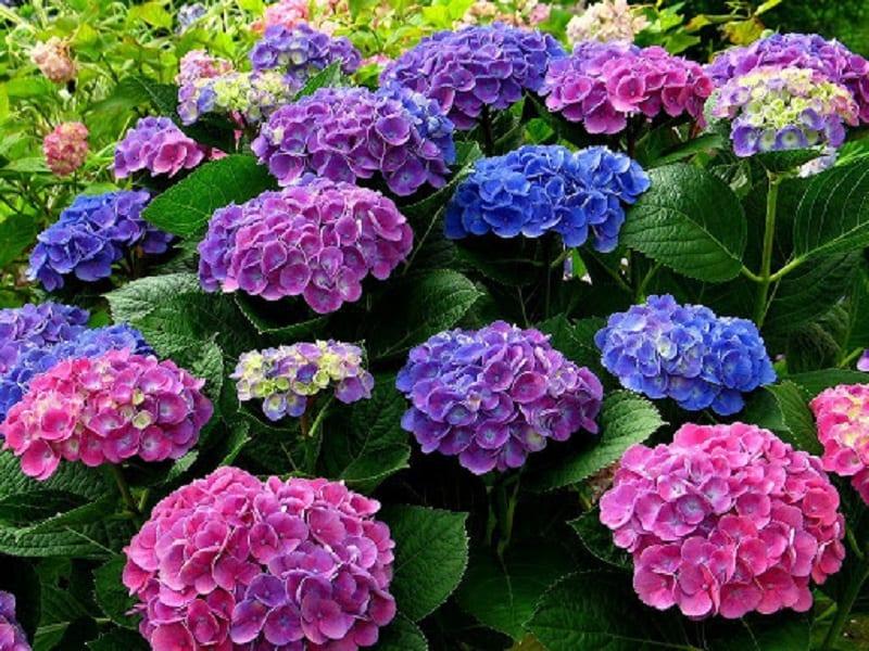 những đóa hoa cẩm tú cầu màu xen lẫn nhau tím, xanh, hồng