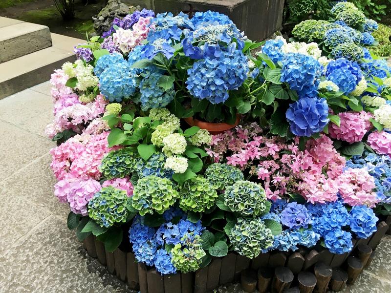 bồn hoa trồng rất nhiều loại hoa cẩm tú cầu rực rỡ màu sắc xanh dương, xanh lá, hồng, tím