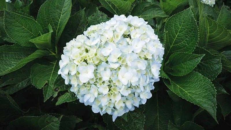 đóa hoa cẩm tú cầu màu trắng gồm nhiều cánh hoa mỏng tạo thành hình cầu