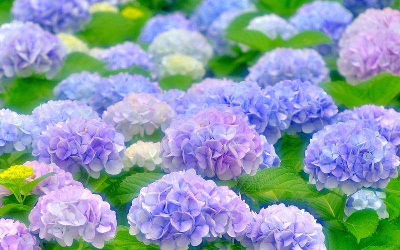 những đóa hoa cẩm tú cầu màu xanh tím pastel đang nở rộ