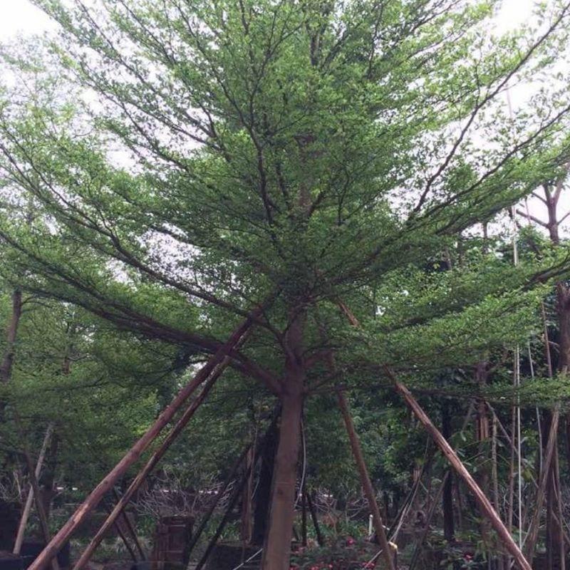 Cây bàng Đài Loan được trống 3 cọc khi trồng để đứng vững