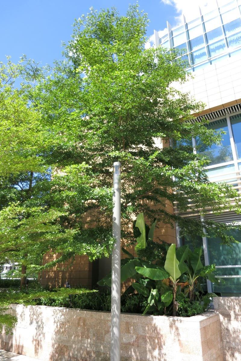 Cây bàng lá nhỏ được tròng ở vườn nhà, tạo bóng mát và không gian xanh