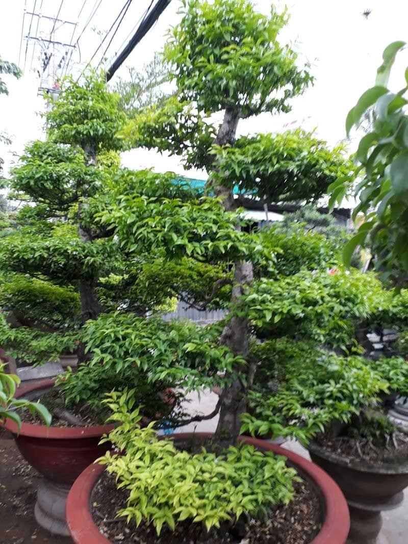 Cay Mai Chieu Thuy 61 800x1067