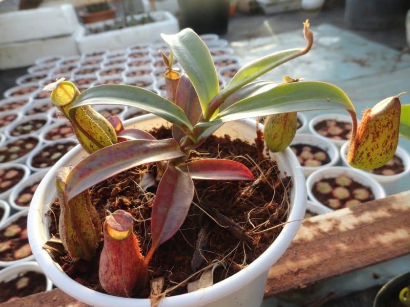 Cây nắp ấm con trồng trong chậu
